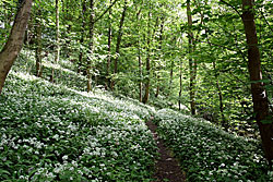Bedlington woods showing wild garlic