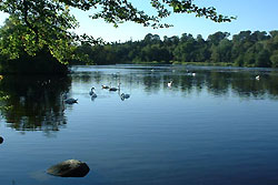 Swans on Bolam lake