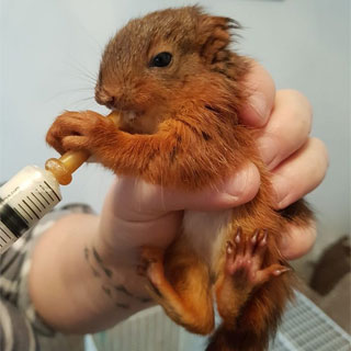 Image demonstrating Red squirrel rescue on Wooler Common