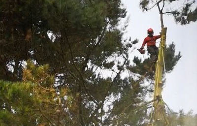 Tree surgeon up a tree trimming the branches