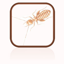 Photo of Booklice (Psocids Liposcelis Bostrychophilus)