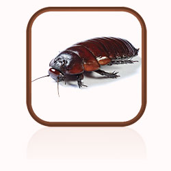Description: Click here to find out more about cockroaches