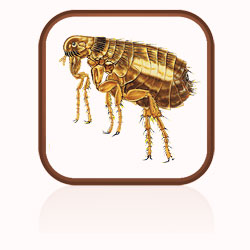 Description: Click here to find out more about fleas