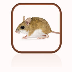 Description: Click here to find out more about mice