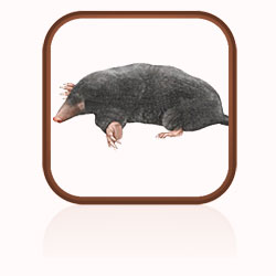 Description: Click here to find out more about moles
