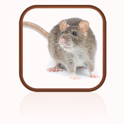 Description: Click here to find out more about rats